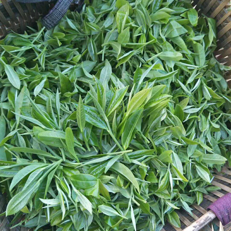 5新鲜一芽二叶嫩茶叶.jpg